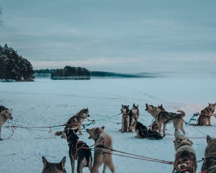 One of the best Lapland adventures - playing with huskies