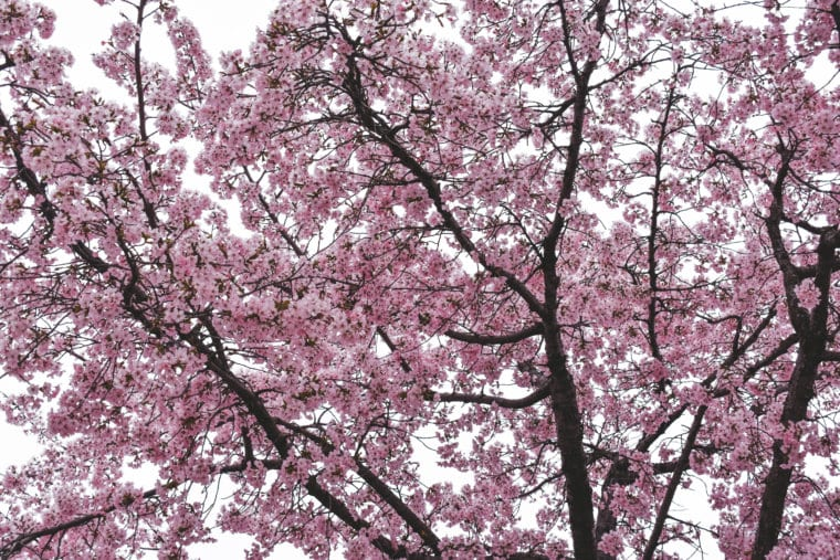 Everything to See During Cherry Blossom Season in Washington D.C.