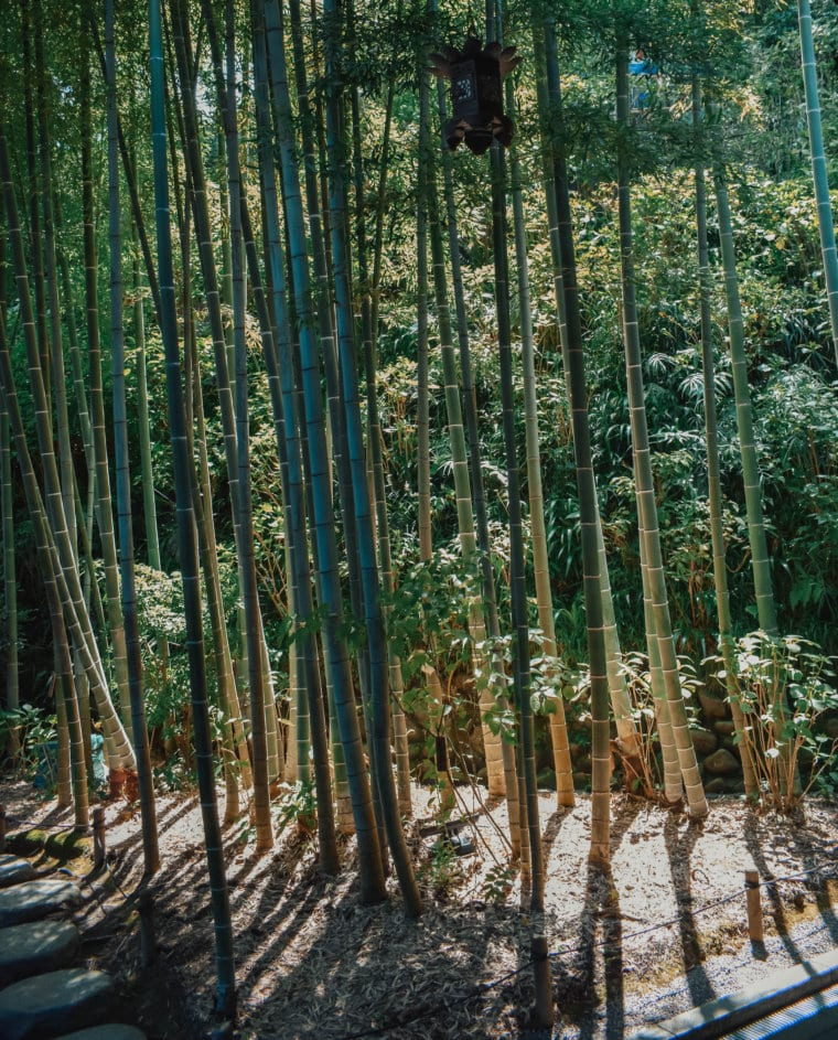 A beautiful bamboo forest in Kamakura, Japan