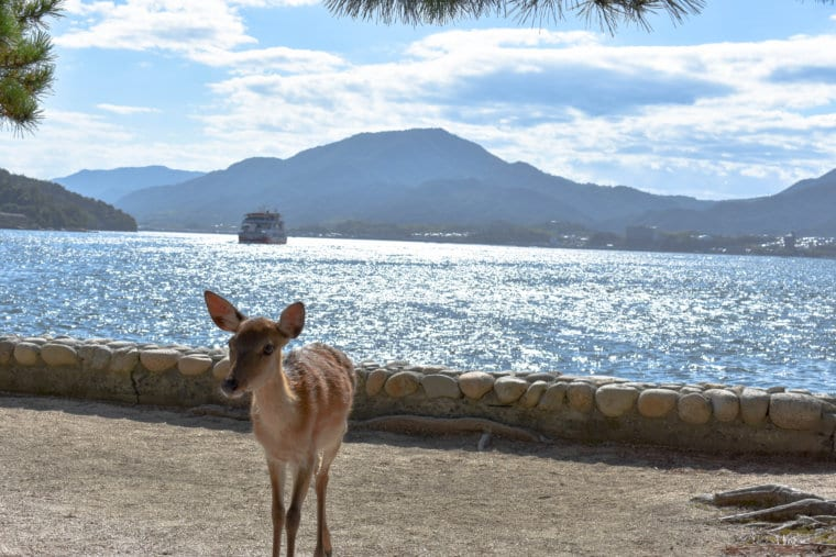 A beautiful deer on Miyajima island.