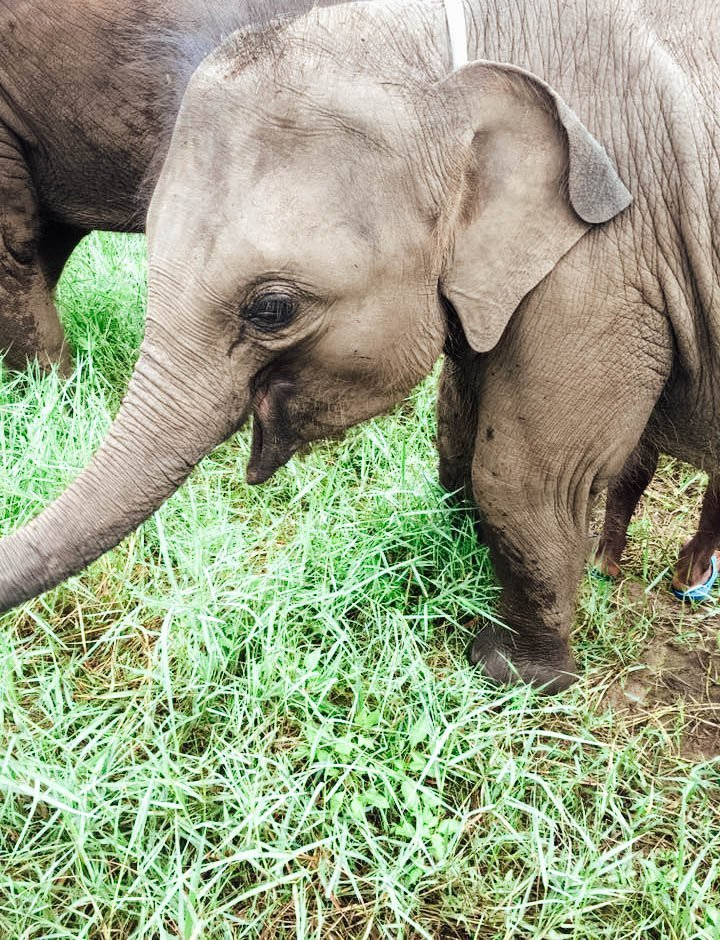 A baby elephant from a save and rescue center in Chiang Mai