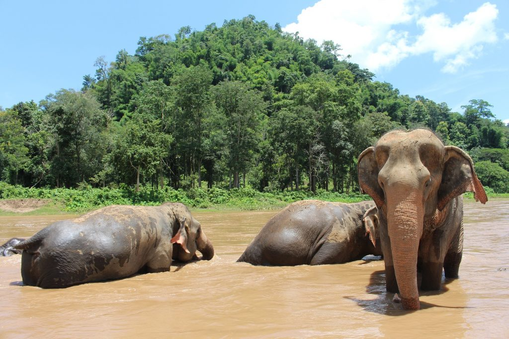 Elephants in Chiang Mai, Thailand