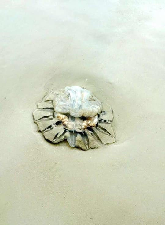 A jellyfish on a beach in Koh Samet, Thailand
