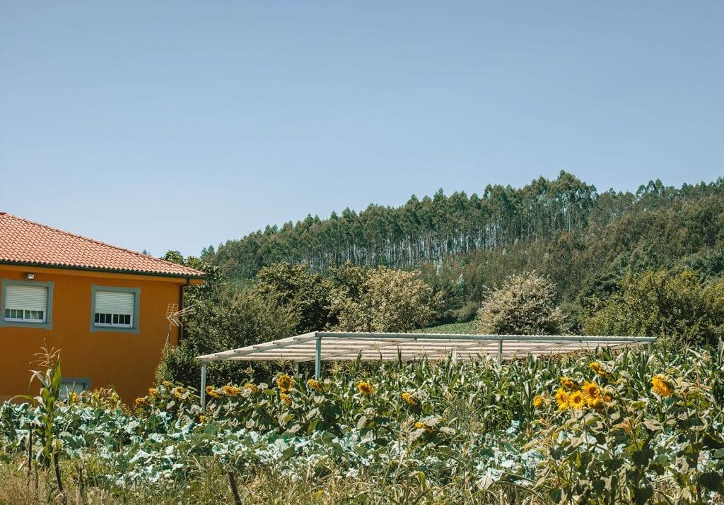 Beautiful sunflowers on the Camino de Santiago
