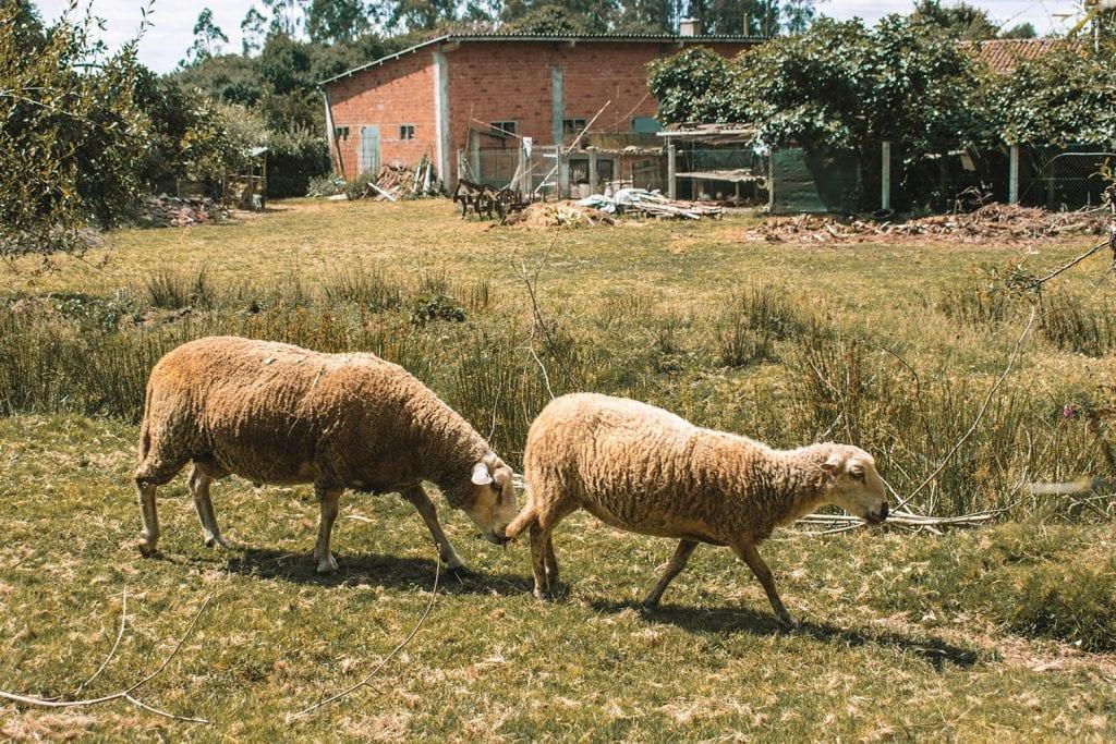 Farm animals along the Camino de Santiago