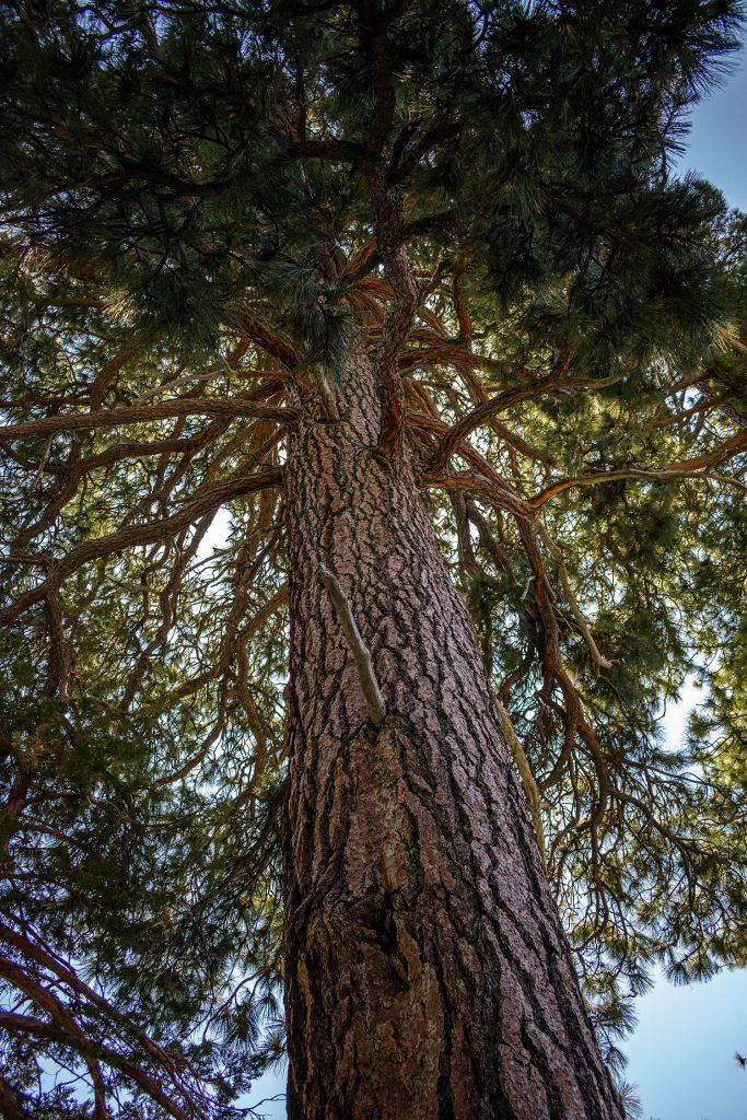 A big pine tree in Lake Tahoe
