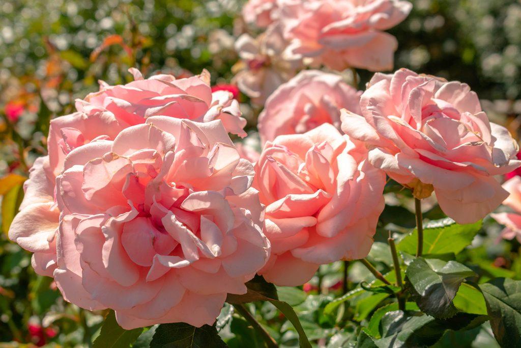 Roses in Sacramento