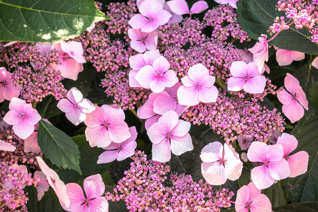 Pink flowers at Washington Park in Portland, Oregon