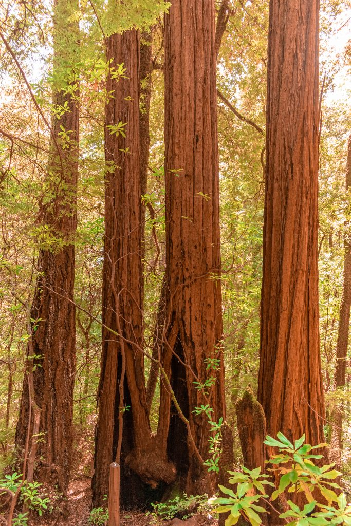 Beautiful Redwood trees in Redwood National and State Parks