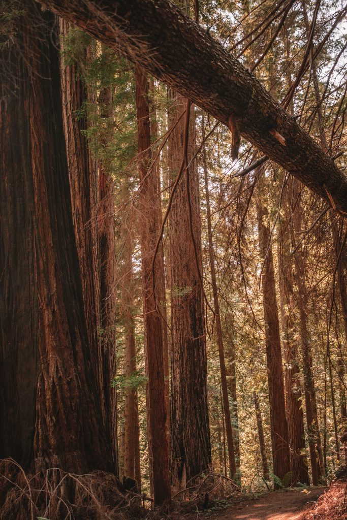 The beautiful Redwood Forest