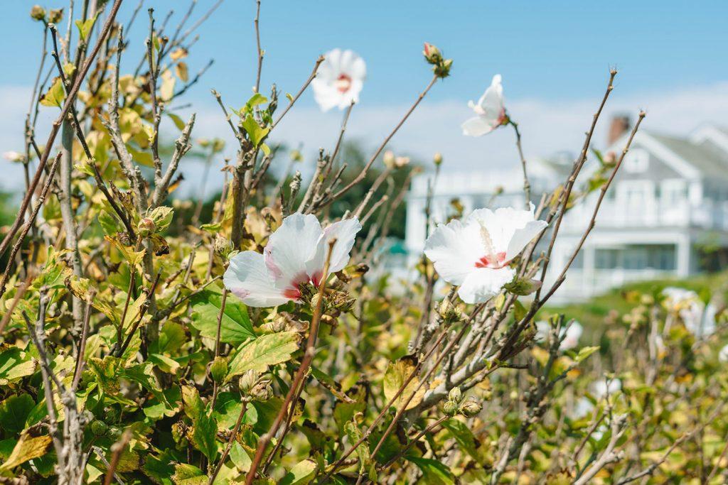 Beautiful flowers on Martha's Vineyard