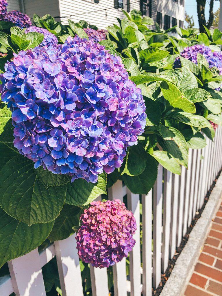 Hydrangeas in Edgartown