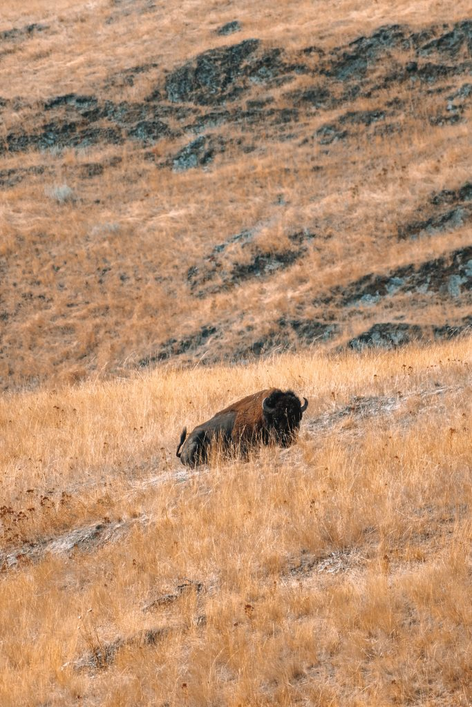 A bison on the best Montana road trip