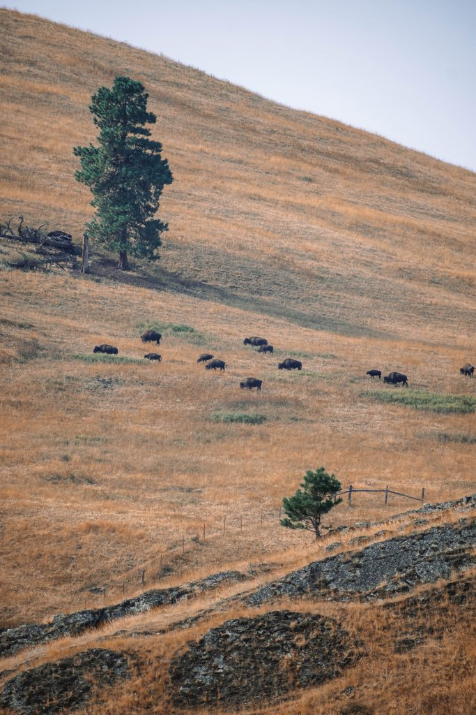 Bison in Montana