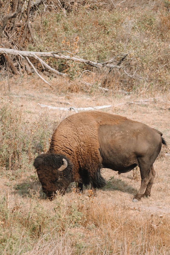 A big bison at National Bison Range during the best Montana road trip