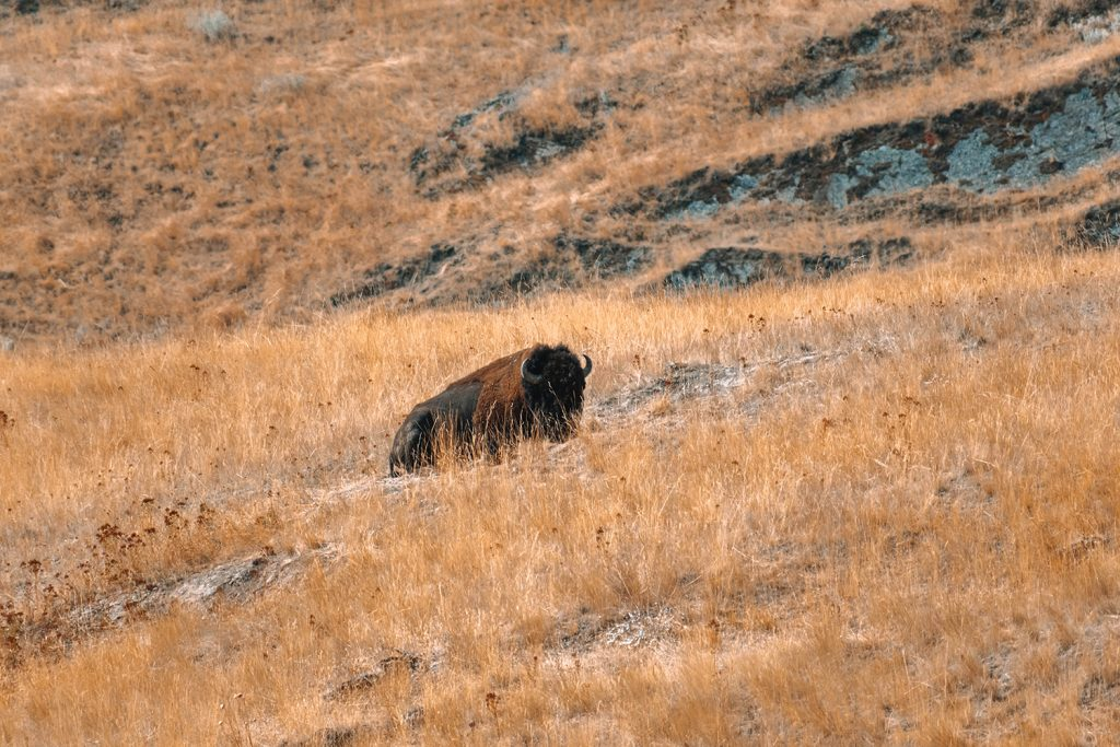 A bison from the National Bison Range