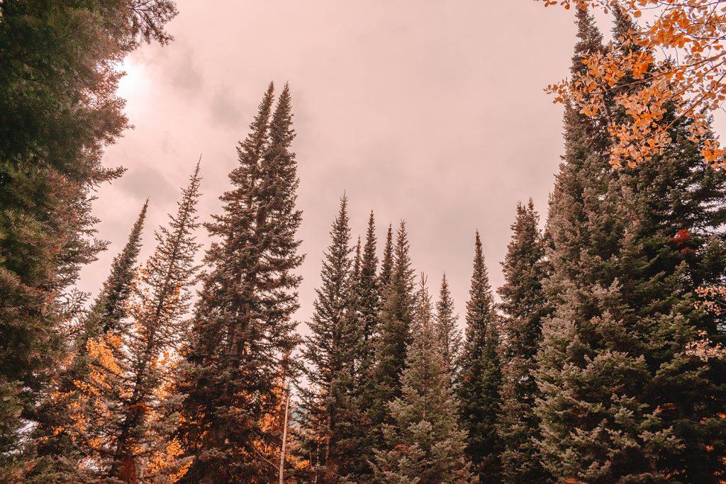 Beautiful Alpine trees on a hike along Jenny Lake