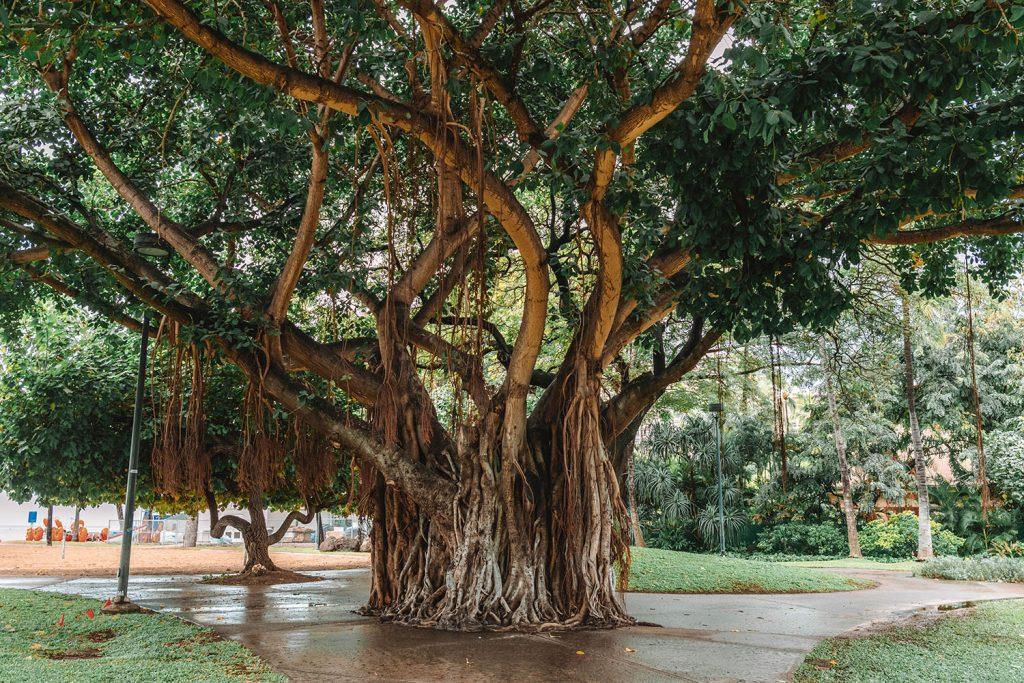 A bayan tree in Waikiki, Oahu