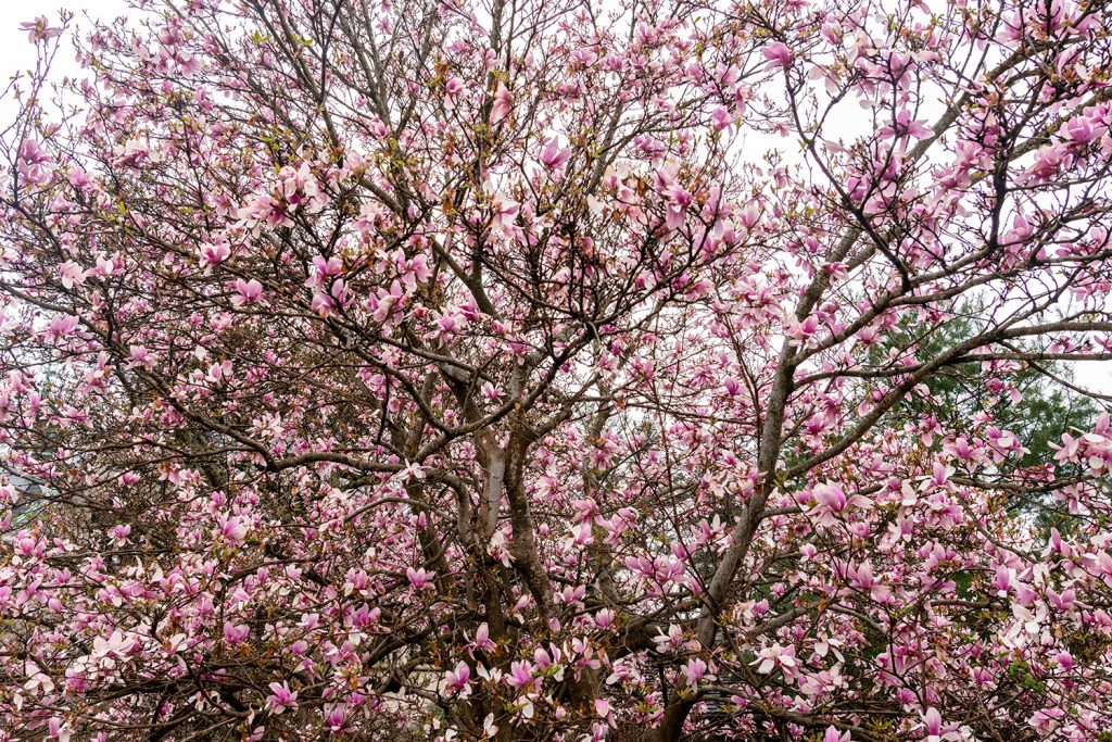 Magnolias from Asheville in the sprintime.