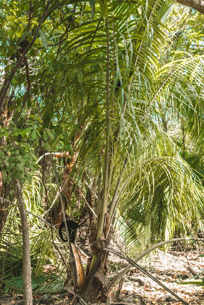 The monkeys of Costa Rica's dry jungle