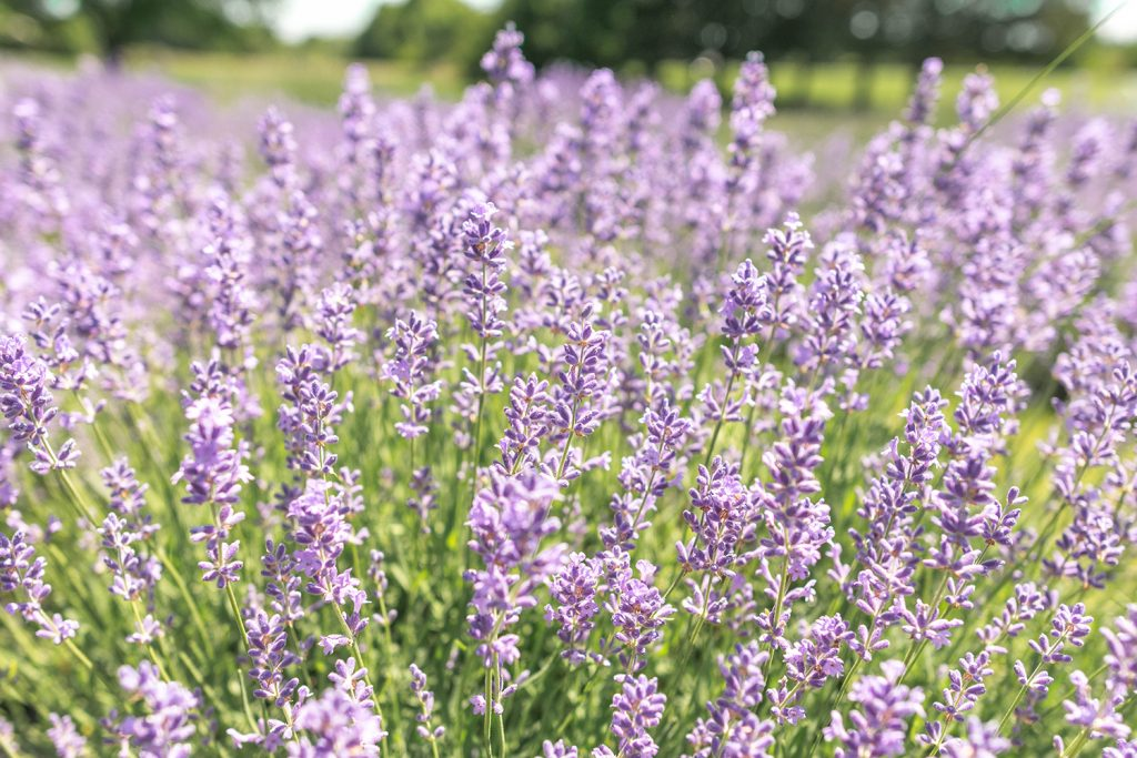 Lavender in Somerset County, NJ this summer