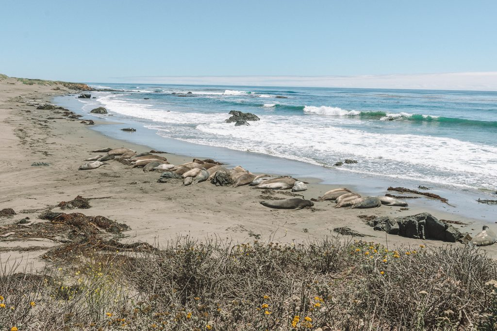 The seals in San Simeon on the Pacific Coast Highway
