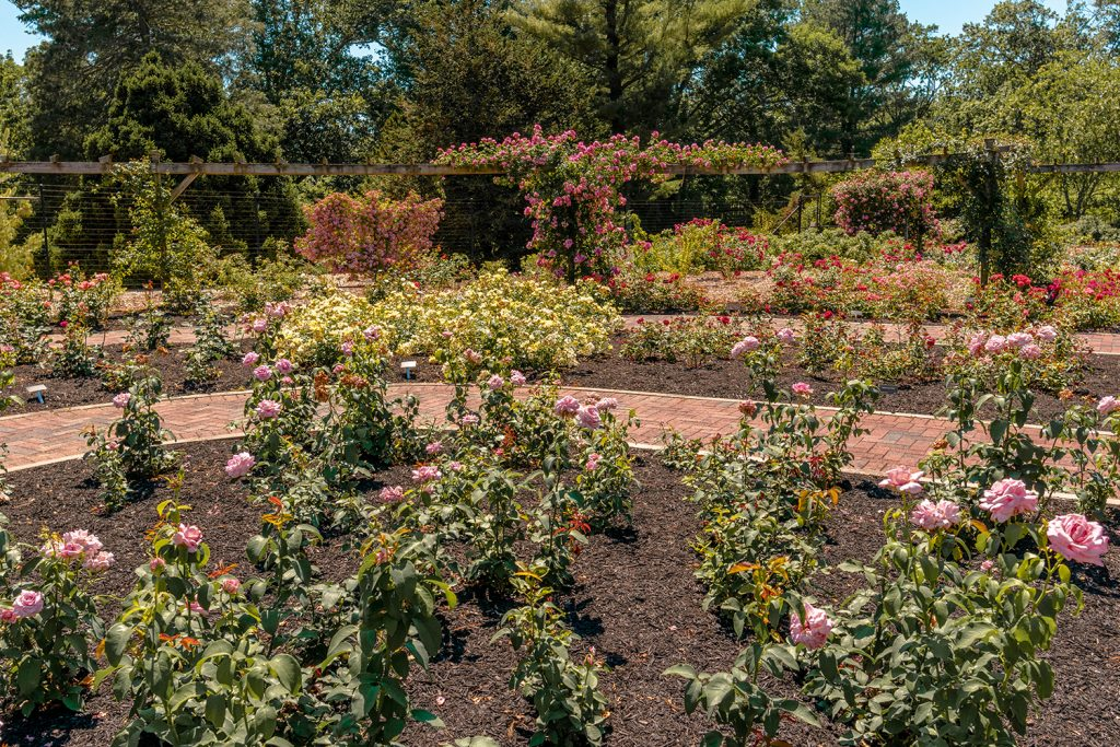 Colonial Park Rose Garden in Somerset County this summer