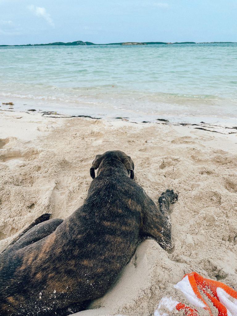A dog on Palm Bay beach on Great Exuma Island