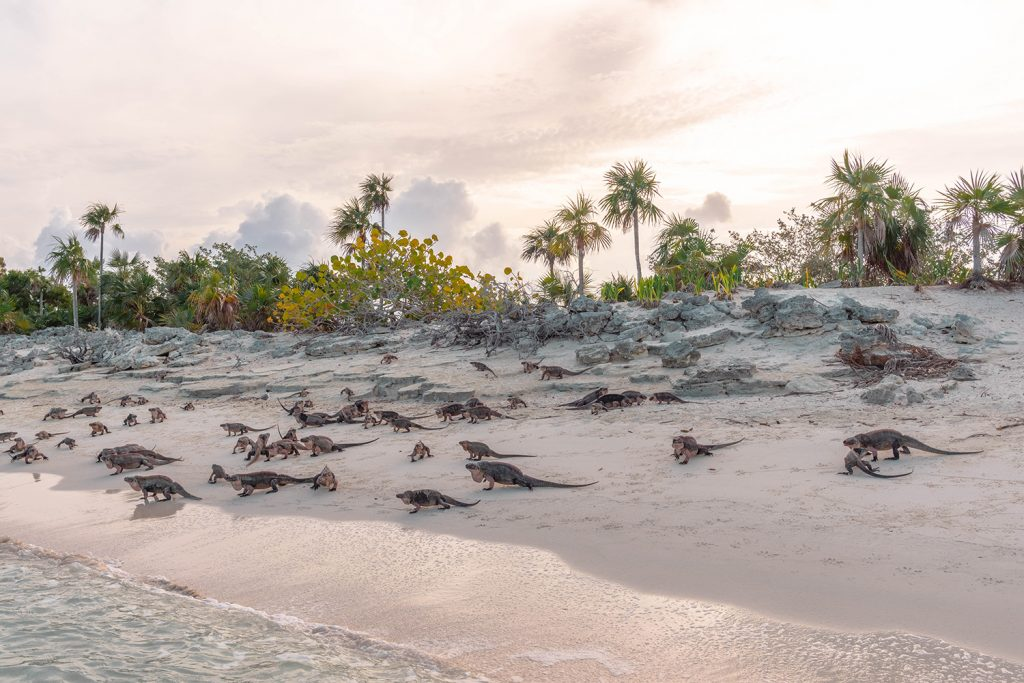 The iguanas at Leaf Cay in the Exumas