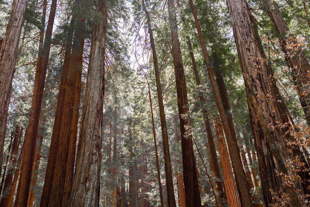 Muir Woods outside of San Francisco.