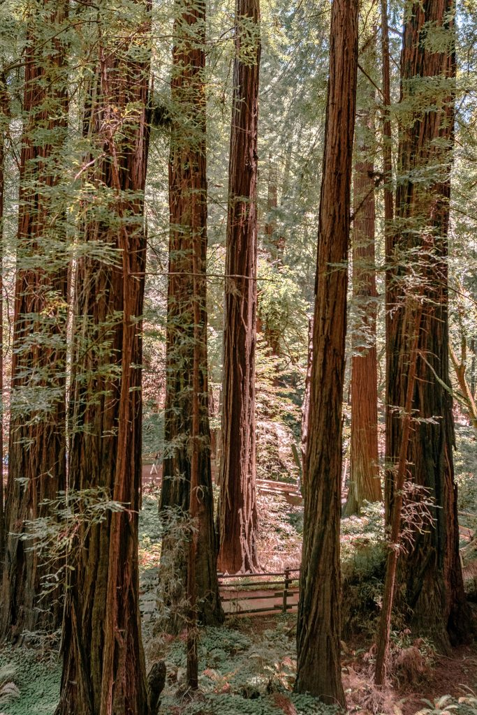 The redwoods at Muir Woods National Monument.