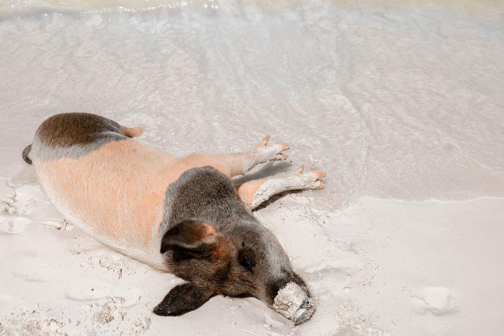 A pig relaxing at Big Major Cay