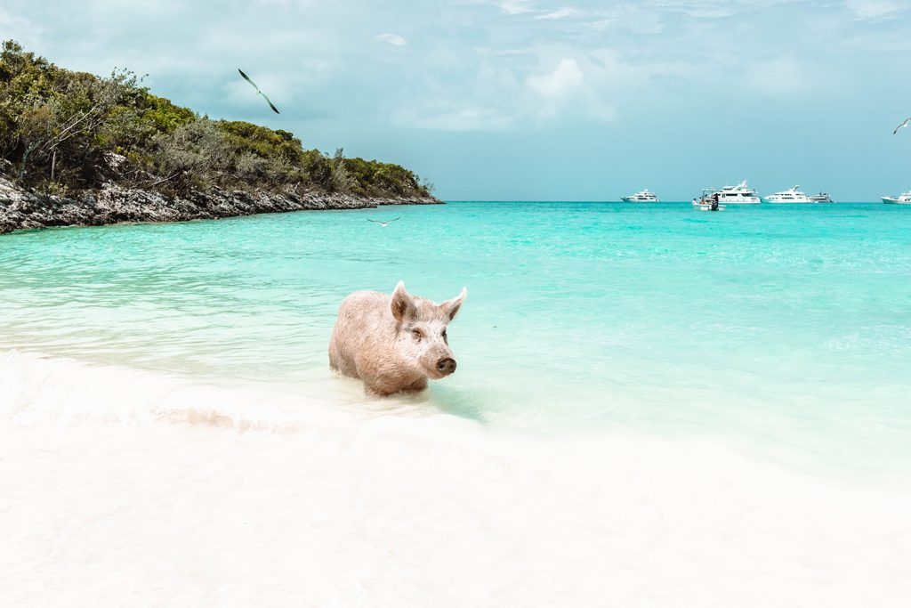 What to do on Great Exuma Island - do a boat tour to see the swimming bigs at Big Major Cay