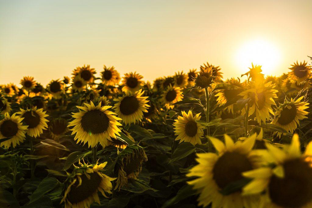 Sunflower fields in Winters, California