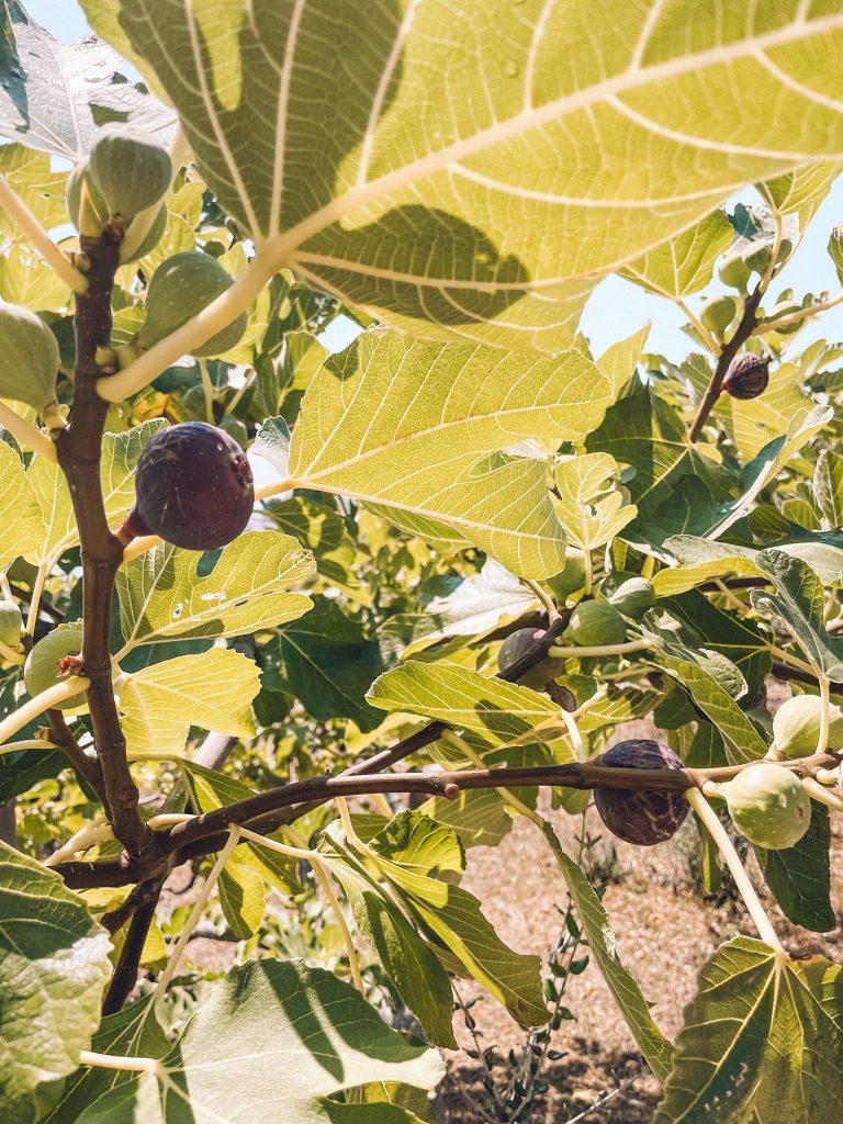 Croatian figs